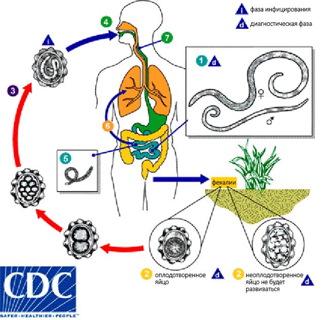 Аскариды у детей: 7 признаков кишечной формы, врачебный обзор препаратов для лечения, а также о мерах профилактики