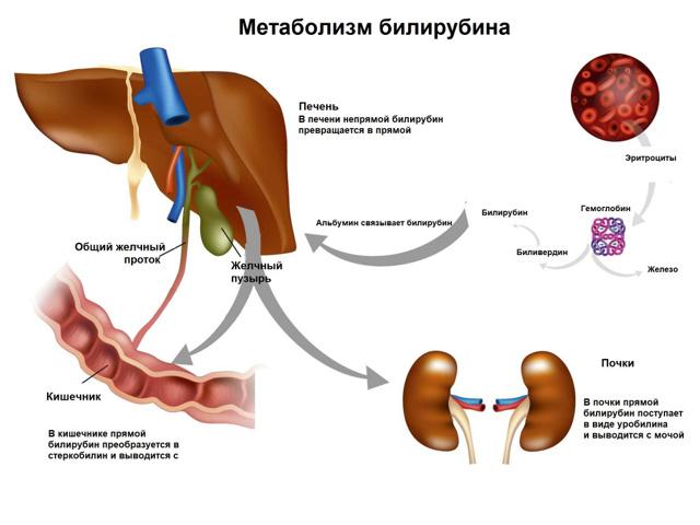Синдром Жильбера: 5 главных симптомов, обзор методов диагностики и лечения
