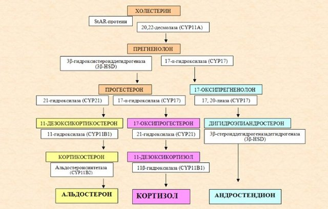 Андростендион: 7 показаний для анализа, расшифровка результатов, норма