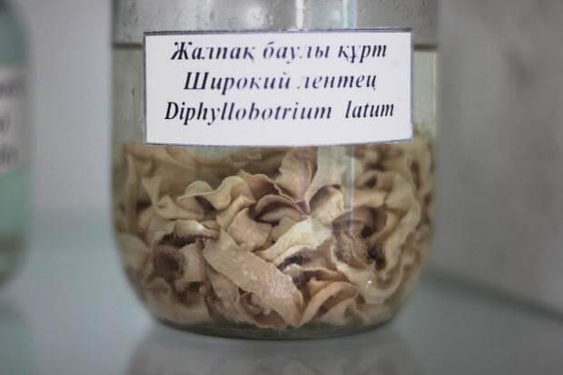 Глисты: более 20 видов и 5 мифов о глистах рассказывает врач