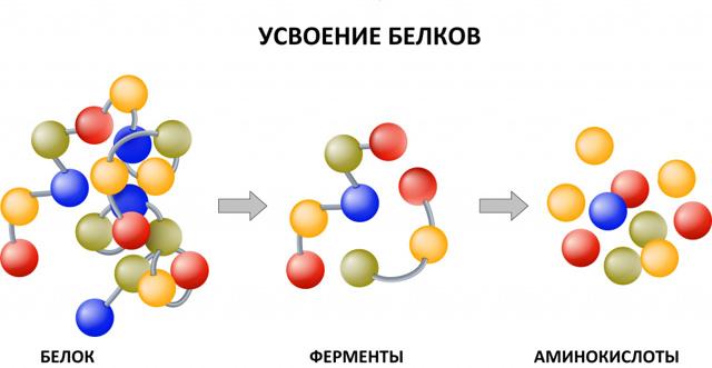 Гемоглобин: 6 видов белка, 7 причин низкого уровня, подготовка к анализу, расшифровка результатов