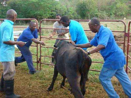 Бруцеллёз: человек и 6 животных, для которых эта болезнь опасна