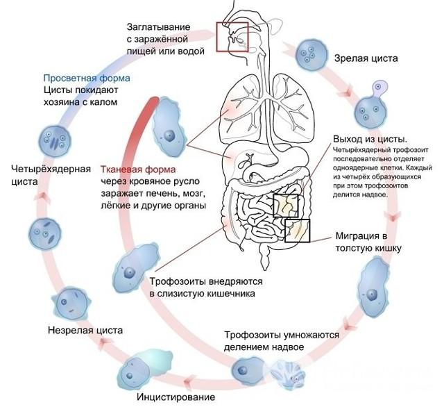 Амебиаз: характеристика возбудителя, 4 группы риска, 3 группы симптомов, 2 метода лечения
